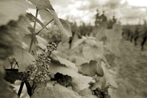 La vigne en bourgeons